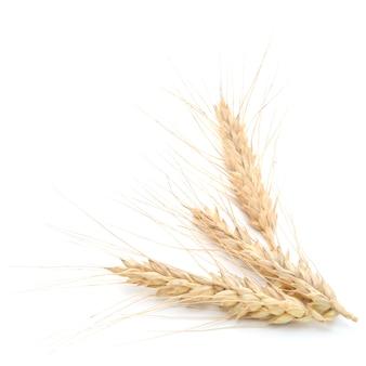 Espigas de trigo isoladas em um fundo branco