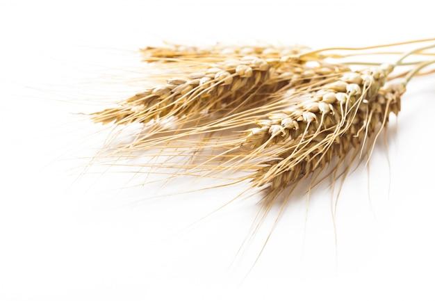 Espigas de trigo isoladas no branco