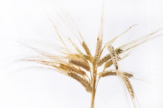 Espigas de trigo isoladas