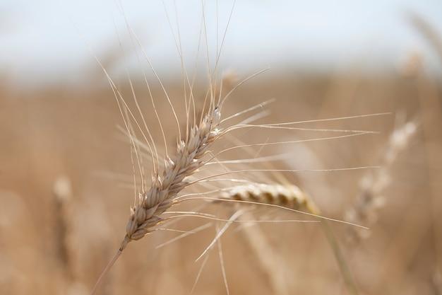 Espigas de trigo maduras crescem em um campo sob a luz do sol