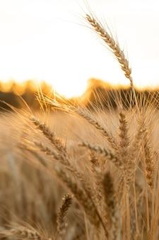 Espigas de trigo maduras do campo agrícola no fundo do pôr do sol o conceito de uma rica colheita
