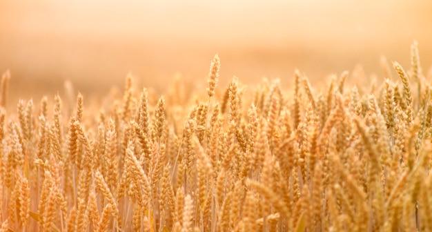 Espigas de trigo maduras