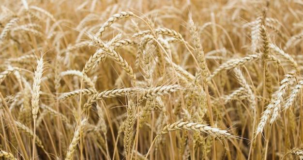 Espigas de trigo maduro crescendo em um campo de trigo