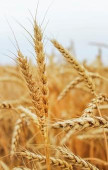 Espigas de trigo maduro no campo de grãos