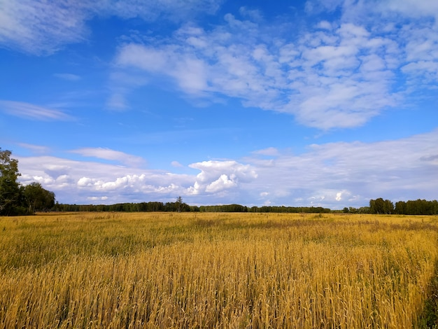 Espigas de trigo maduro no outono em um grande campo sob um céu azul com nuvens na sibéria
