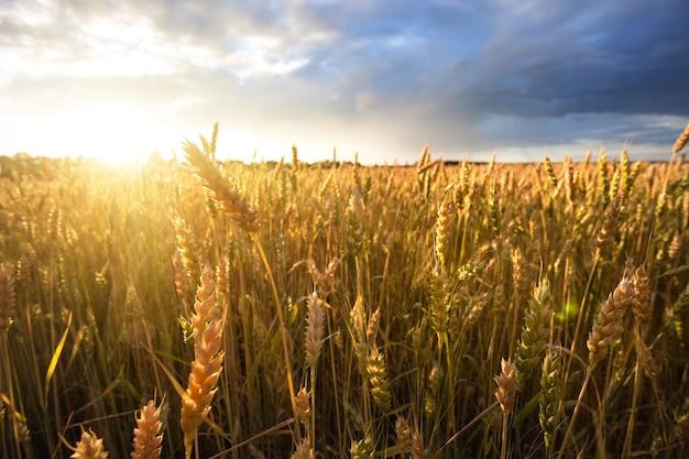 Espigas de trigo maduro sob céu nublado