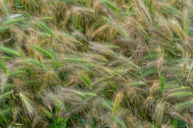 Espigas de trigo na luz do sol, pôr do sol no campo
