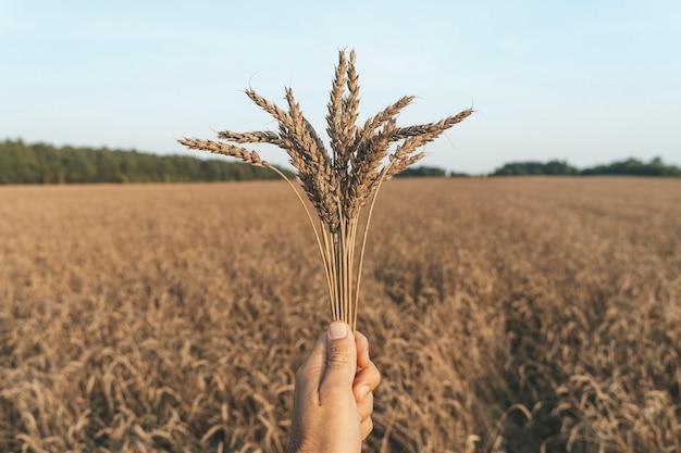 Espigas de trigo na mão no contexto de um campo de trigo de verão no pôr do sol agricultura agricultura e ...