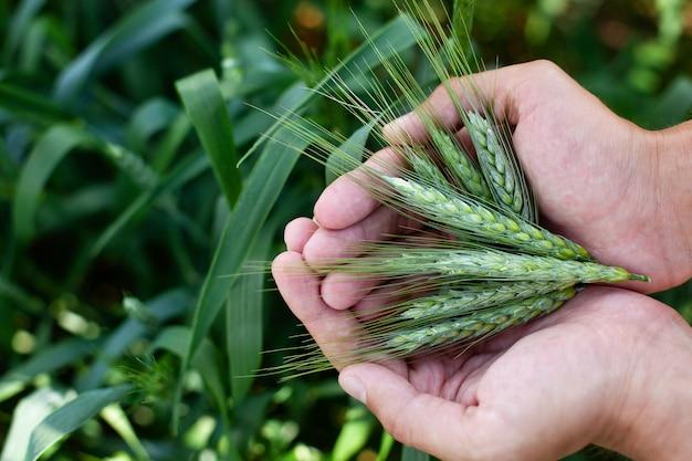 Espigas de trigo nas mãos do homem. colheita, colheita conceito, jovem agricultor em campo tocando suas espigas de trigo. proteção de cultivos. campo de trigo agrícola cultivada. conceito de proteção e cuidado com os grãos.