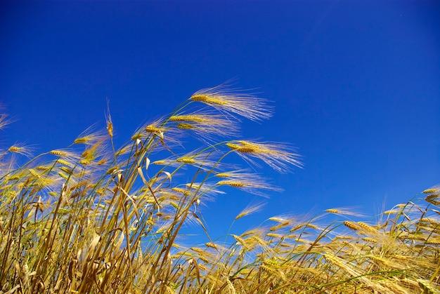 Espigas de trigo no céu azul