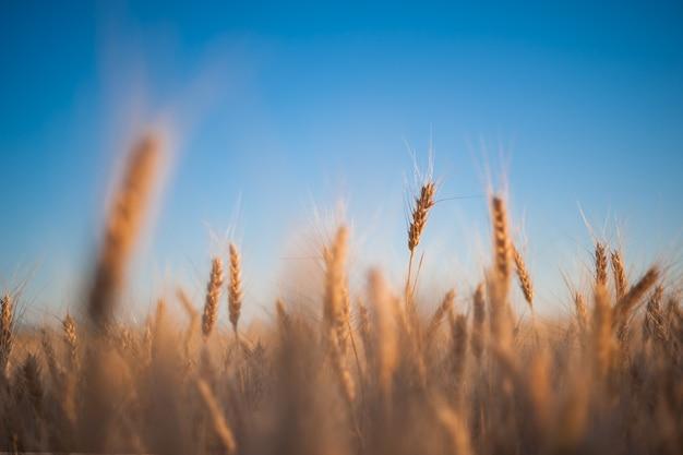 Espigas de trigo no fundo do céu azul, agricultura. papel de parede agrícola, foco seletivo
