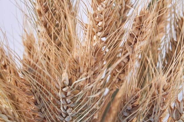 Espigas de trigo orgânico secas douradas em close up