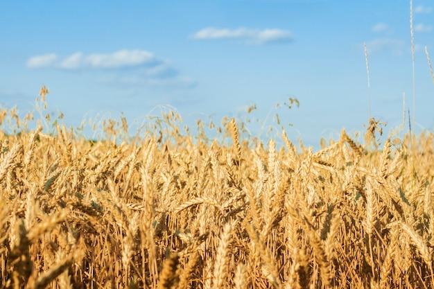 Espigas de trigo ou cevada no campo. bom conceito de colheita, cereais, produtos naturais