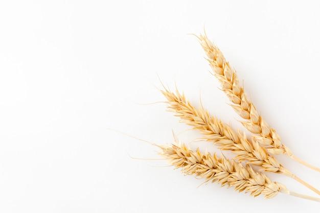 Espigas douradas de plantas maduras de trigo em um fundo branco, isoladas do fundo