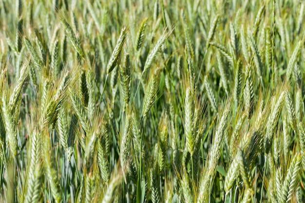 Espigas fotografadas em close de trigo verde imaturo, profundidade de campo rasa