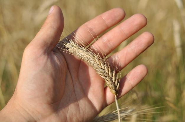 Espigas maduras de trigo amarelo ficam na palma da mão de uma pessoa.