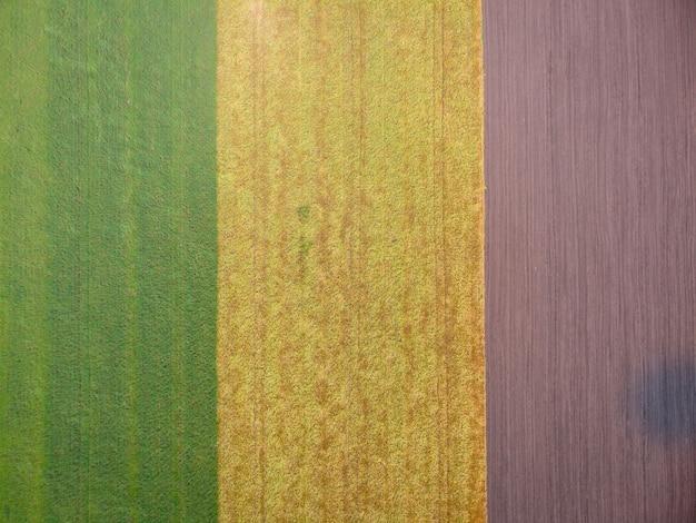 Espigas verdes amarelas balançam ao vento, colheita de cereais maduros, três campos, trigo maduro verde, terreno limpo