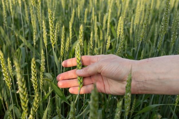 Espigueta verde na mão de uma mulher no fundo de um campo de trigo. controle de qualidade. o conceito de agricultura orgânica, agricultura