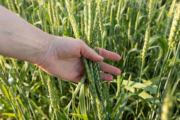 Espiguetas verdes na mão de uma mulher no fundo de um campo de trigo controle de qualidade agricultura orgânica