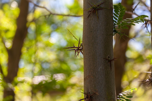 Espinhos de acácia isolados em um fundo natural e crescendo do tronco da árvore.