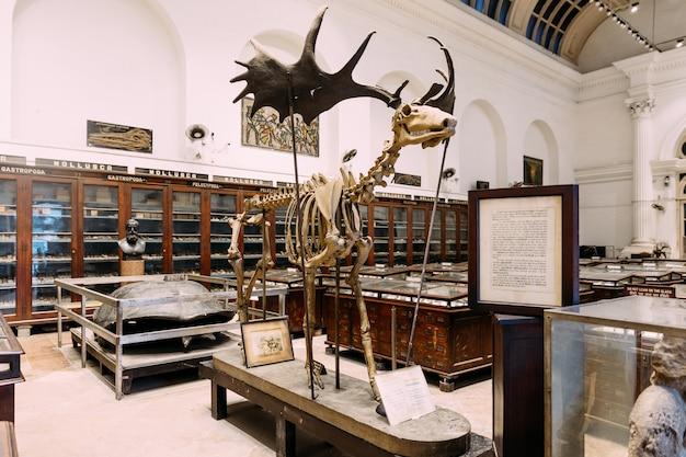 Esqueleto antigo dos alces dentro do museu indiano em kolkata, índia.