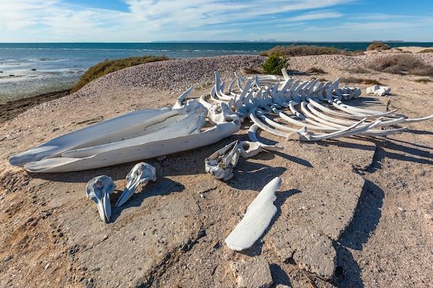 Esqueleto de baleia e crânios de golfinho na costa do oceano