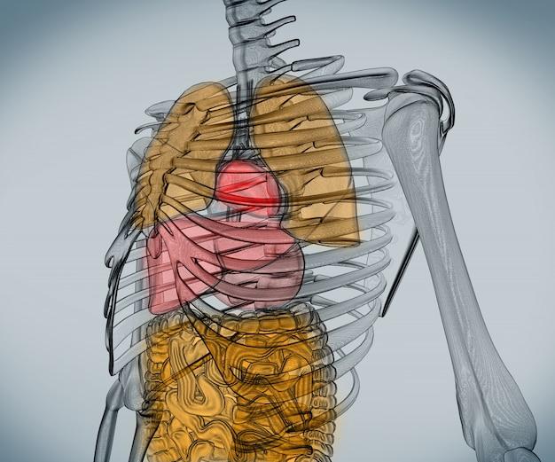 Esqueleto digital com órgãos