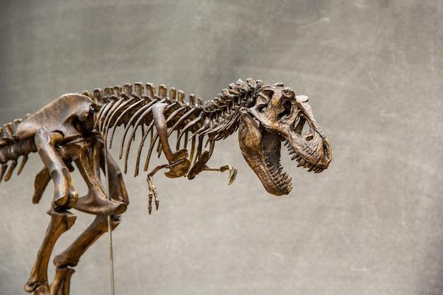 Esqueleto fóssil do rei dinossauro tiranossauro rex