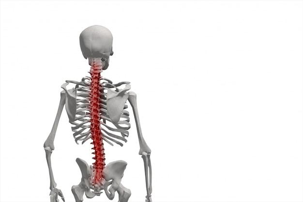Esqueleto humano, ilustração da coluna, dor nas costas isolado
