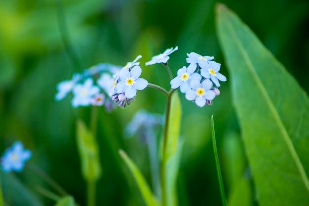 Esqui-menote da água myosotis scorpioides palustris flor azul planta com flor no parque macro