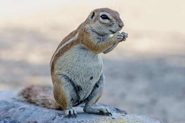 Esquilo à terra comendo