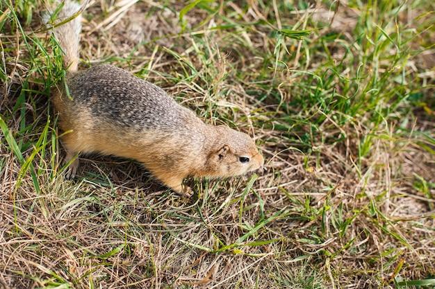 Esquilo à terra em campo de grama de perto