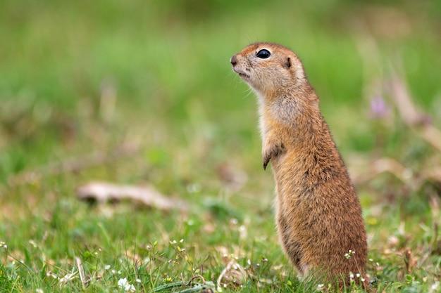 Esquilo à terra em pé na grama