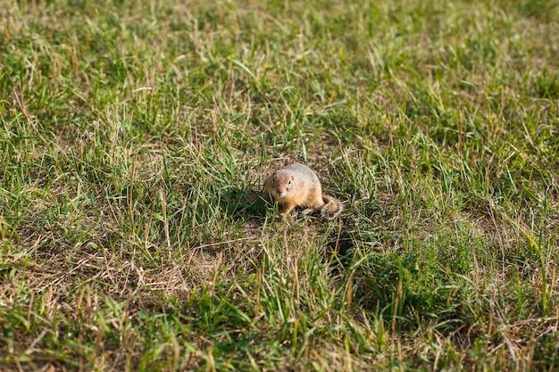 Esquilo à terra em um campo de grama perto horizontalmente
