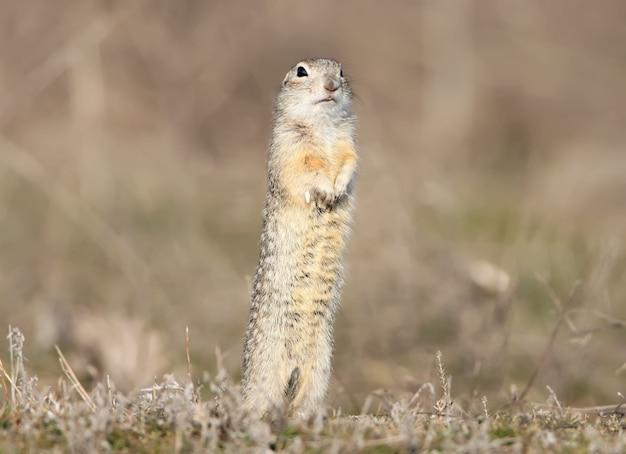 Esquilo à terra fica no chão em pose engraçada.