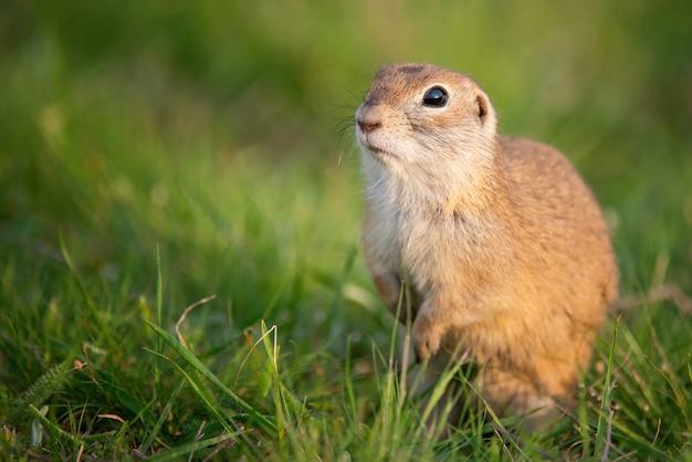 Esquilo à terra (spermophilus pygmaeus) em pé na grama