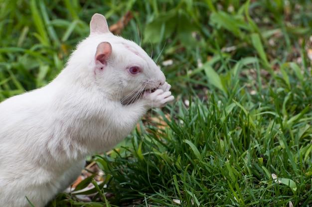Esquilo albino comendo sementes de pássaros caídas de um alimentador de pássaros.