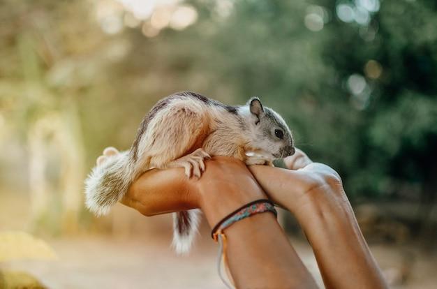 Esquilo bebê nas mãos