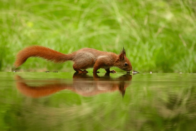 Esquilo bonito bebendo água de um lago em uma floresta