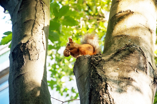 Esquilo bonito com a porca na árvore no parck.