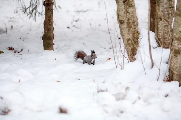 Esquilo bonito olhando a cena do inverno, parque nevado ou floresta