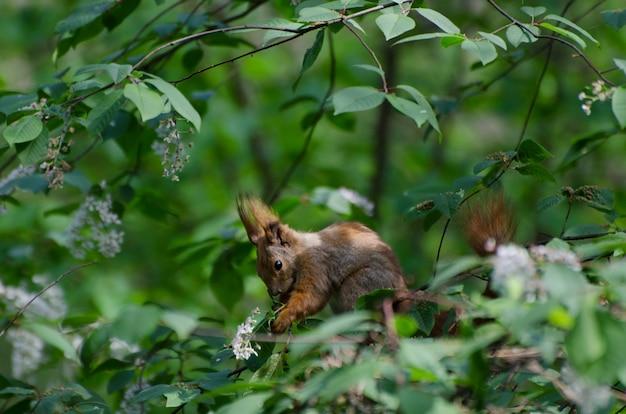 Esquilo bonito pequeno na floresta de primavera