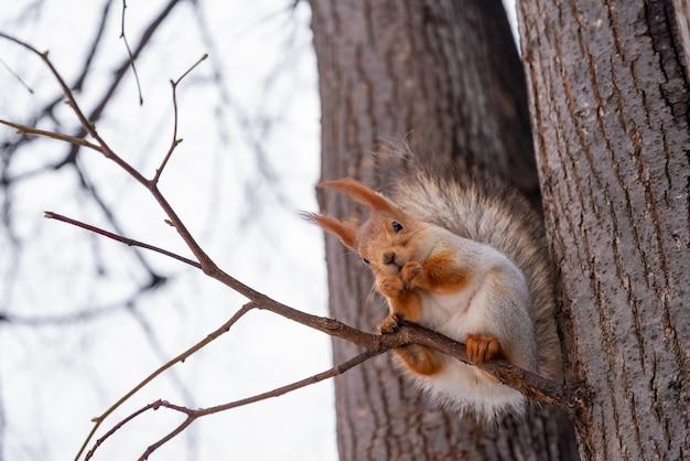 Esquilo bonito senta-se no galho de árvore e come uma noz no parque de inverno