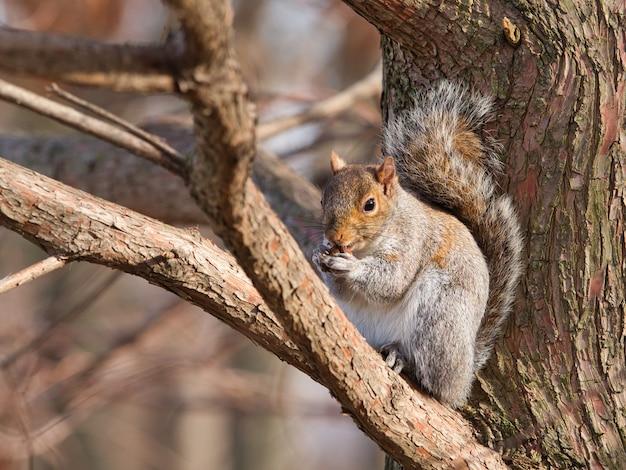 Esquilo cinza-oriental sentado em um galho de árvore comendo nozes