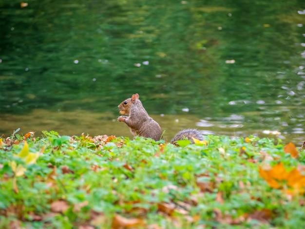 Esquilo cinzento fofo andando perto da grama verde à beira do lago durante o dia