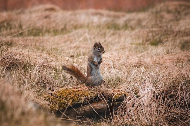 Esquilo cinzento na grama marrom durante o dia