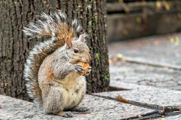 Esquilo cinzento oriental come uma noz na trinity square em toronto - canadá