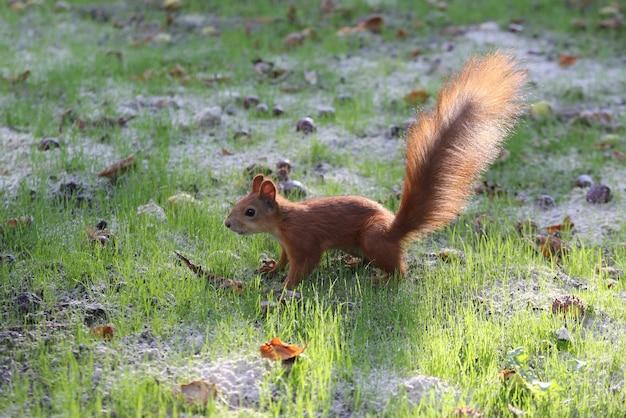 Esquilo com cauda fofa na grama verde