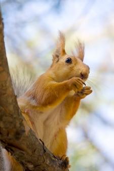 Esquilo com noz