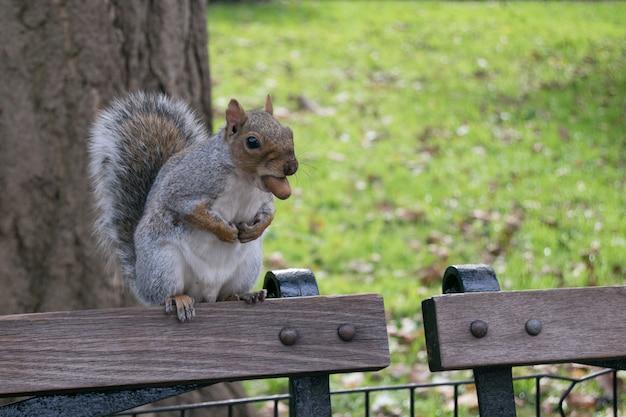 Esquilo, com, um, noz, em, a, boca